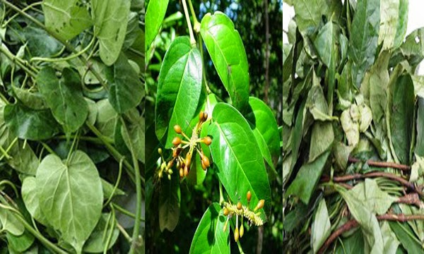 Foreign buyers in need of Ukazi leaf often prepared by the Igbo – African Salad