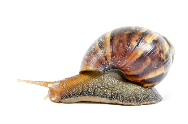 Snail export business is a gold mine, learn the breeding, shipping and exporting
